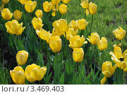 Желтые тюльпаны. Стоковое фото, фотограф Алла Корниенко / Фотобанк Лори