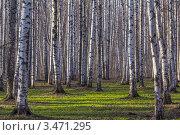 Березовая роща. Стоковое фото, фотограф Владимир Арефьев / Фотобанк Лори