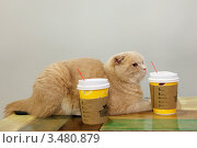 Купить «Породистая рыжая кошка скоттиш фолд в кошачьем кафе», эксклюзивное фото № 3480879, снято 10 апреля 2012 г. (c) Ольга Липунова / Фотобанк Лори
