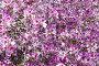 Баухиния пестрая (Bauhinia variegata), орхидейное дерево, фото № 3481095, снято 26 апреля 2012 г. (c) Наталья Волкова / Фотобанк Лори