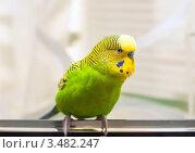 Купить «Зелёный волнистый попугай», эксклюзивное фото № 3482247, снято 30 апреля 2012 г. (c) Игорь Низов / Фотобанк Лори