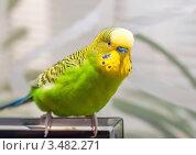 Купить «Зелёный волнистый австралийский попугайчик», эксклюзивное фото № 3482271, снято 30 апреля 2012 г. (c) Игорь Низов / Фотобанк Лори