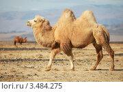 Купить «Бактрийский верблюд в степях Монголии», фото № 3484275, снято 9 октября 2011 г. (c) hunta / Фотобанк Лори