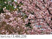 Купить «Пышное цветение сакуры, Японский сад, Москва», фото № 3486239, снято 30 апреля 2012 г. (c) Fro / Фотобанк Лори