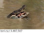 Купить «Крокодил в воде с добычей в зубах», фото № 3487507, снято 23 апреля 2012 г. (c) Наталья Волкова / Фотобанк Лори