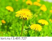 Купить «Желтые одуванчики, весенний солнечный день», фото № 3491727, снято 5 мая 2012 г. (c) Екатерина Овсянникова / Фотобанк Лори