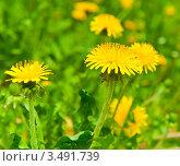 Купить «Желтые одуванчики, весна», фото № 3491739, снято 5 мая 2012 г. (c) Екатерина Овсянникова / Фотобанк Лори