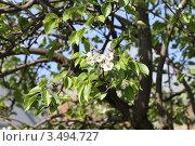 Цветение груши. Стоковое фото, фотограф Елена Чернецова / Фотобанк Лори