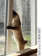 Кот выглядывает в окно.Меконгский бобтейл. Стоковое фото, фотограф Джакобия Екатерина / Фотобанк Лори