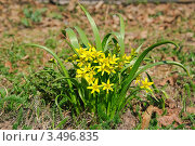 Купить «Гусиный лук (Gagea)», фото № 3496835, снято 26 апреля 2011 г. (c) Алёшина Оксана / Фотобанк Лори