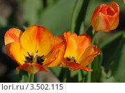 Купить «Оранжевые тюльпаны», эксклюзивное фото № 3502115, снято 30 апреля 2012 г. (c) Svet / Фотобанк Лори