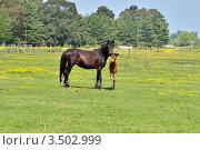 Купить «Лошадь с жеребенком на летнем лугу», фото № 3502999, снято 2 мая 2012 г. (c) Julia Ovchinnikova / Фотобанк Лори