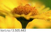 Купить «Капля росы на желтой ромашке», видеоролик № 3505443, снято 5 мая 2012 г. (c) ILLYCH / Фотобанк Лори