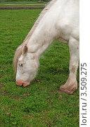 Белая лошадь щиплет траву. Стоковое фото, фотограф Татьяна Кахилл / Фотобанк Лори