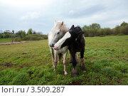 Две лошади черная и белая  на лугу. Стоковое фото, фотограф Татьяна Кахилл / Фотобанк Лори