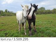 Белая и черная лошади на лугу. Стоковое фото, фотограф Татьяна Кахилл / Фотобанк Лори