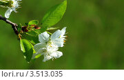 Купить «Цветение вишни», видеоролик № 3513035, снято 23 апреля 2012 г. (c) ILLYCH / Фотобанк Лори