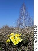 Купить «Адонис (горицвет весенний). Adonis vernalis L. Цветы на фоне голубого неба и одинокой берёзы», фото № 3514599, снято 10 апреля 2012 г. (c) Григорий Писоцкий / Фотобанк Лори