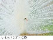 Купить «Белый Павлин (самец) с распущенным хвостом», фото № 3514635, снято 16 января 2011 г. (c) Михаил Борсов / Фотобанк Лори