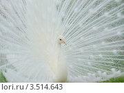 Купить «Белый Павлин (самец) с распущенным хвостом», фото № 3514643, снято 16 января 2011 г. (c) Михаил Борсов / Фотобанк Лори