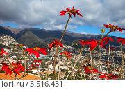 Купить «Португалия. Остров Мадейра. Фуншал (Funchal). Алые прицветники пуансеттии на фоне города, гор и неба (лат. Euphorbia pulcherrima)», фото № 3516431, снято 22 декабря 2011 г. (c) Виктория Катьянова / Фотобанк Лори