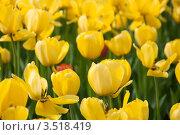 Купить «Клумба с жёлтыми тюльпанами», фото № 3518419, снято 11 мая 2012 г. (c) Володина Ольга / Фотобанк Лори