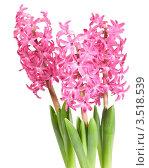Розовые гиацинты на белом фоне. Стоковое фото, фотограф Наталья Громова / Фотобанк Лори
