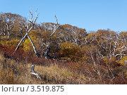 Осень на Камчатке, каменная береза. Стоковое фото, фотограф А. А. Пирагис / Фотобанк Лори