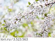 Цветущая ветка вишни. Стоковое фото, фотограф Наталья Громова / Фотобанк Лори