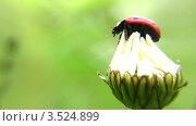 Купить «Божья коровка на цветке», видеоролик № 3524899, снято 1 июля 2008 г. (c) Losevsky Pavel / Фотобанк Лори