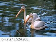 Купить «Розовые пеликаны  (Pelecanus onocrotalus)», фото № 3524903, снято 7 апреля 2012 г. (c) Татьяна Белова / Фотобанк Лори