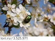 Цветущая вишня. Стоковое фото, фотограф Елена Мурашева / Фотобанк Лори