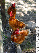 Три рыжие курицы. Стоковое фото, фотограф Ольга Ларина / Фотобанк Лори