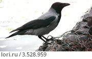 Купить «Ворона крупным планом», видеоролик № 3528959, снято 24 октября 2008 г. (c) Losevsky Pavel / Фотобанк Лори