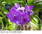 Купить «Орхидея Ванда, Таиланд», фото № 3530923, снято 5 сентября 2011 г. (c) ElenArt / Фотобанк Лори