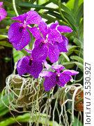 Купить «Орхидея Ванда, Таиланд», фото № 3530927, снято 5 сентября 2011 г. (c) ElenArt / Фотобанк Лори
