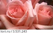 Купить «Розовые розы», видеоролик № 3531243, снято 30 декабря 2008 г. (c) Losevsky Pavel / Фотобанк Лори