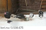 Купить «Индейки», видеоролик № 3538675, снято 11 февраля 2009 г. (c) Losevsky Pavel / Фотобанк Лори