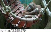 Купить «Большая обезьяна сидит в гамаке», видеоролик № 3538679, снято 11 февраля 2009 г. (c) Losevsky Pavel / Фотобанк Лори