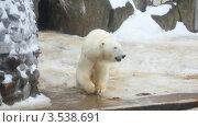 Купить «Танцующий белый медведь», видеоролик № 3538691, снято 11 февраля 2009 г. (c) Losevsky Pavel / Фотобанк Лори