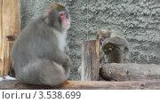Купить «Семья обезьян», видеоролик № 3538699, снято 11 февраля 2009 г. (c) Losevsky Pavel / Фотобанк Лори