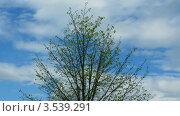 Купить «Дерево под голубым небом, таймлапс», видеоролик № 3539291, снято 23 мая 2009 г. (c) Losevsky Pavel / Фотобанк Лори