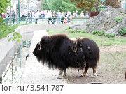 Купить «Московский зоопарк, Як», эксклюзивное фото № 3541787, снято 7 мая 2012 г. (c) Дмитрий Неумоин / Фотобанк Лори