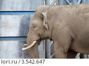 Купить «Московский зоопарк, Слон», эксклюзивное фото № 3542647, снято 7 мая 2012 г. (c) Дмитрий Неумоин / Фотобанк Лори