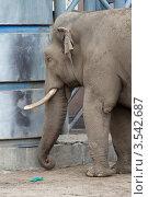 Купить «Московский зоопарк, Слон», эксклюзивное фото № 3542687, снято 7 мая 2012 г. (c) Дмитрий Неумоин / Фотобанк Лори