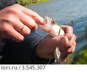 Купить «Мужчина, вставив палец в рот судаку, достаёт крючок», эксклюзивное фото № 3545307, снято 24 мая 2012 г. (c) Игорь Низов / Фотобанк Лори