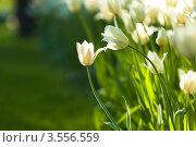 Купить «Белые тюльпаны на фоне зелёной травы», фото № 3556559, снято 16 мая 2012 г. (c) Иванова Марина / Фотобанк Лори