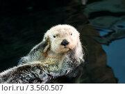 Купить «Калан (морская выдра)», фото № 3560507, снято 1 мая 2012 г. (c) Юлия Бабкина / Фотобанк Лори