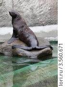 Купить «Московский зоопарк, морской котик», эксклюзивное фото № 3560671, снято 7 мая 2012 г. (c) Дмитрий Неумоин / Фотобанк Лори