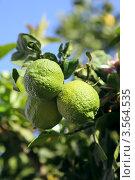Лимоны зреют на ветви дерева в саду, эксклюзивное фото № 3564535, снято 10 апреля 2012 г. (c) Татьяна Белова / Фотобанк Лори